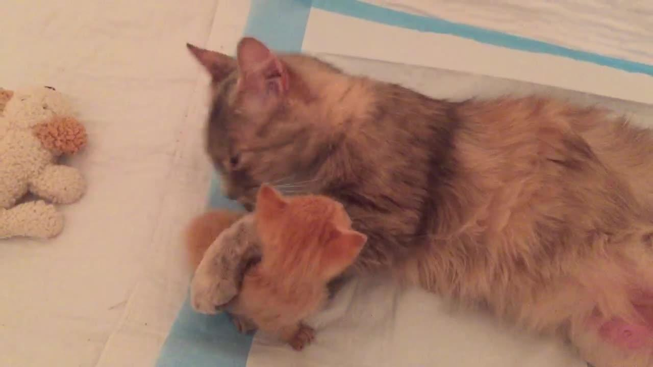 WATCH: Grieving Mother Cat and Orphaned Ginger Kitten Become 'Little Family'