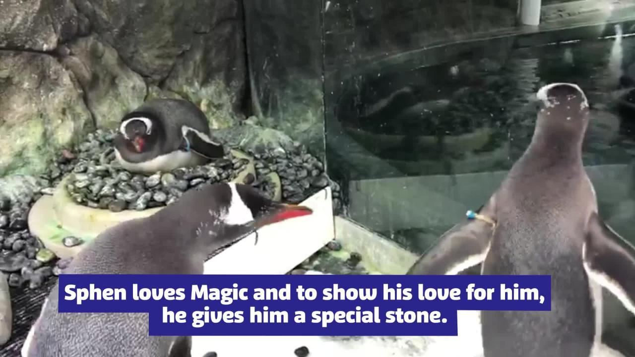 Same-Sex Penguin Couple Given Foster Egg Welcomes Adorable Baby Chick