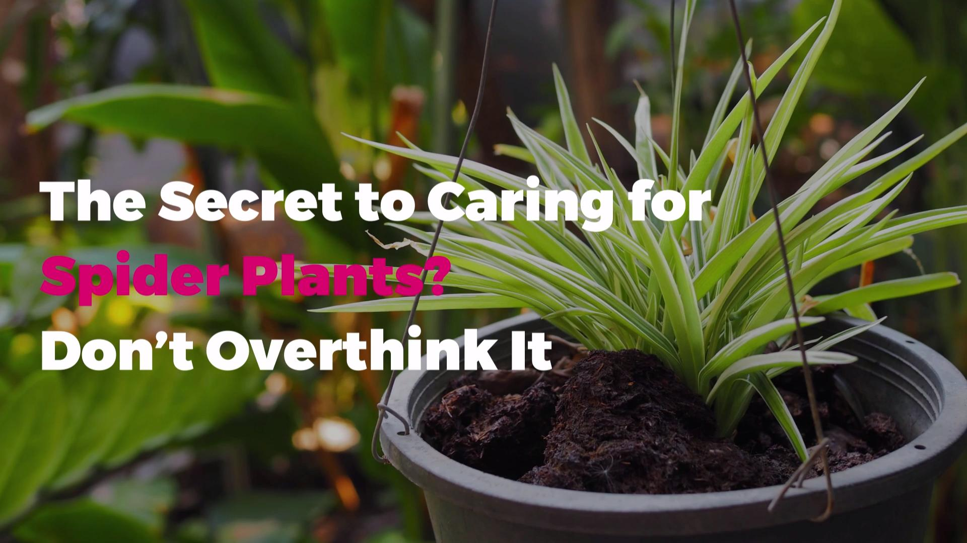 Best Spider Plant Care Tips Don T Overthink It Real Simple
